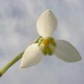 White Snowdrop Head Scent