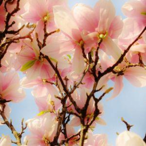 Magnolia Flower Bloom Blossom Tree Sky