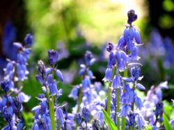 Bluebells Woodland Sunlight Fragrance Pairfum London 9