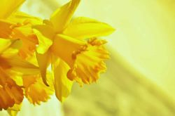 Pairfum Windsor Woodland Daffodil Home Fragrance Oil 13