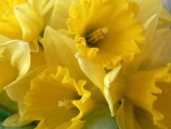 Pairfum Windsor Woodland Daffodil Home Fragrance Oil 14