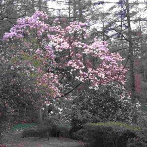 Bloom Magnolia Windsor Park Perfumery Ingredient