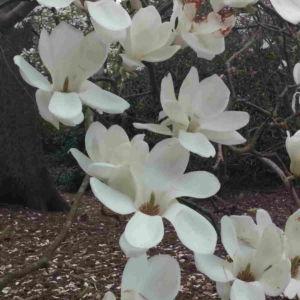 Fragrance Ingredient Natural Essential Oil Magnolia Bloom Windsor Park162531