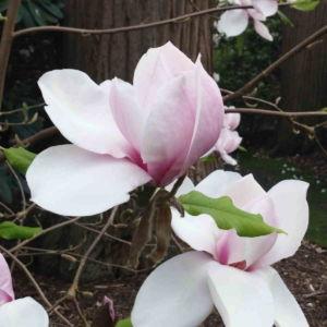 Fragrance Ingredient Natural Essential Oil Magnolia Bloom Windsor Park163134