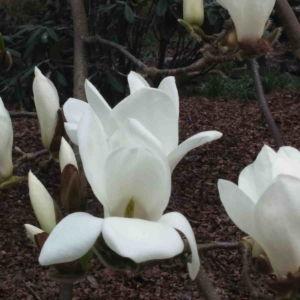 Fragrance Ingredient Natural Essential Oil Magnolia Bloom Windsor Park170812