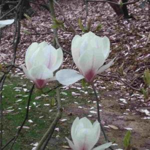 Fragrance Ingredient Natural Essential Oil Magnolia Bloom Windsor Park170838