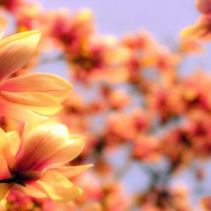 Perfumery Ingredient Natural Essential Oil Magnolia Petals