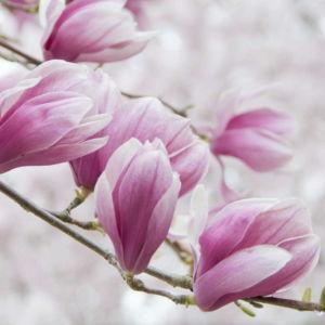 Perfumery Ingredient Natural Essential Oil Magnolias In Bloom