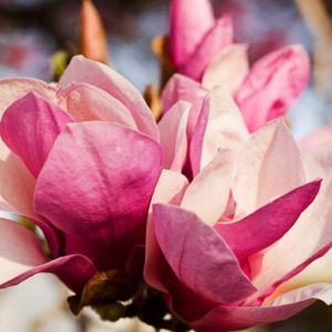 Perfumery Ingredient Natural Essential Oil Pink Magnolia Flower
