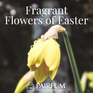 Pairfum London Fragrant Flowers Of Easter Daffodil Narcissus