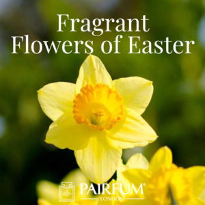 Pairfum London Fragrant Flowers Of Easter Narcissus Daffodil
