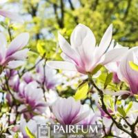 MAGNOLIAS BLOOMING IN NATURE