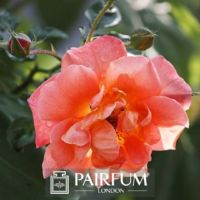 PERFUME BRIGHT PINK ROSE
