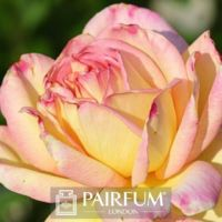 PERFUME TREND PINK ROSE FLOWER IN SUNLIGHT
