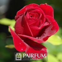 PERFUME INNOVATION RED ROSE GREEN BACKGROUND