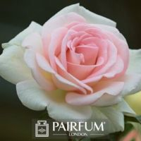 PERFUME TREND ROSE FLOWER WHITE AND PINK