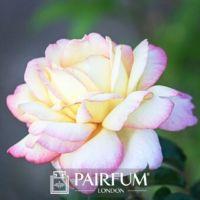 FRAGRANCE TREND WHITE ROSE FLOWER IN SUN