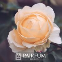 PERFUME TREND YELLOW AND PINK ROSE FLOWER