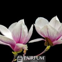 PINK AND WHITE MAGNOLIA BLACK BACKGROUND