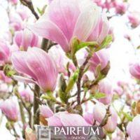 PINK MAGNOLIA FLOWER PLANT