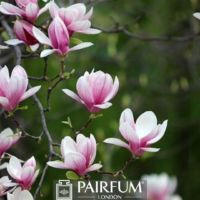 PINK MAGNOLIA FLOWERS AGAINST GREEN BACKGROUND