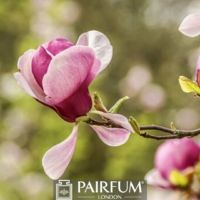 SINGLE PINK MAGNOLIA FLOWER IN BLOOM