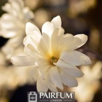 WHITE MAGNOLIA FLOWER HEAD