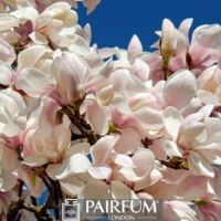 WHITE MAGNOLIA FLOWER PLANT