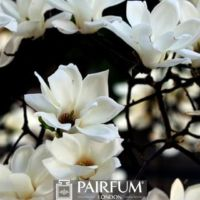 WHITE MAGNOLIA FLOWERS AGAINST BLACK BACKGROUND