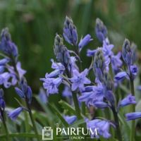 The Perfume of the Bluebell Wood